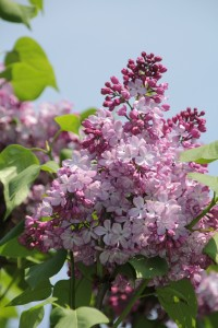'Dark Night' early flowering lilac (Syringa x hyacinthiflora 'Dark Night') has a low chilling hour requirement