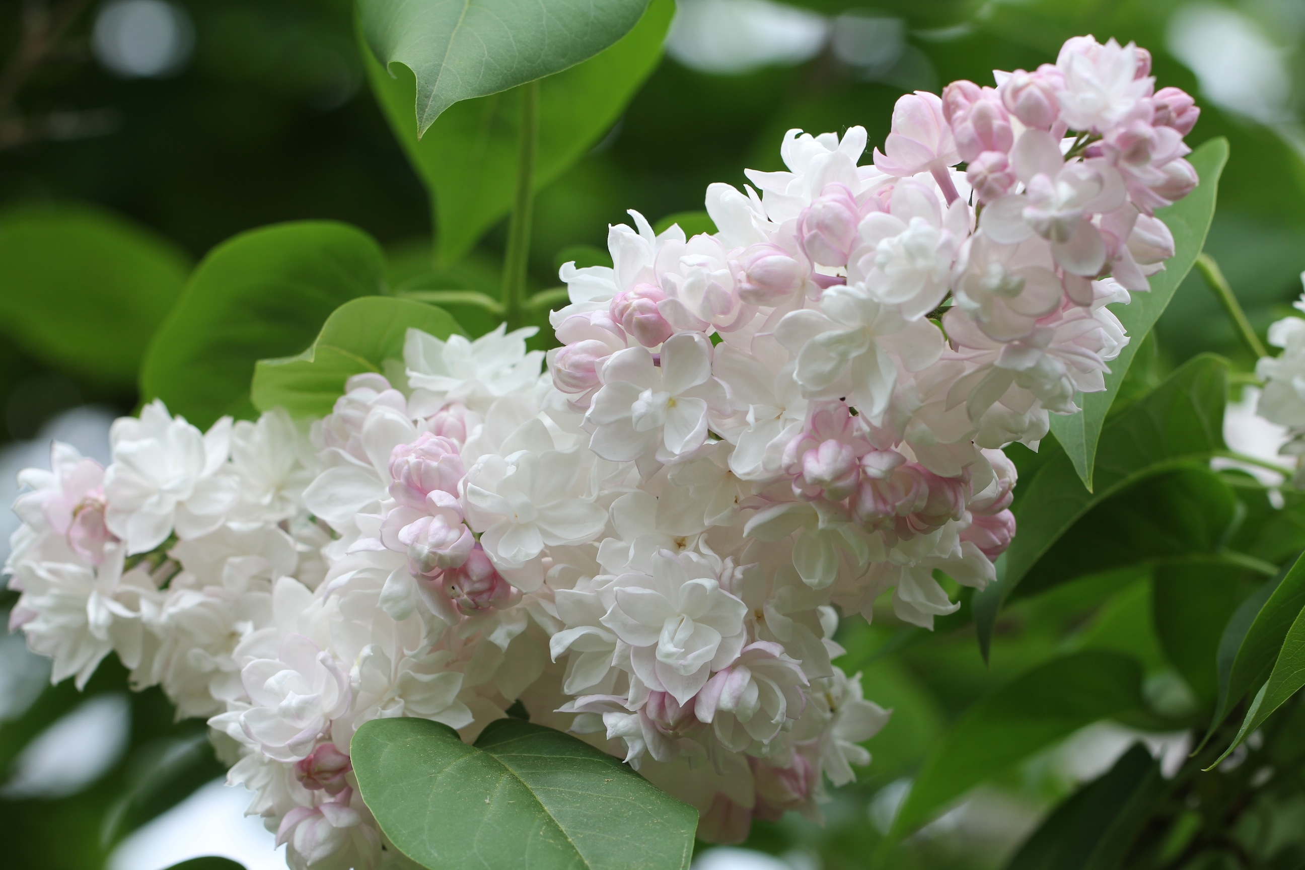 Beautiful flowers of beauty of moscow common lilac for Syringa vulgaris